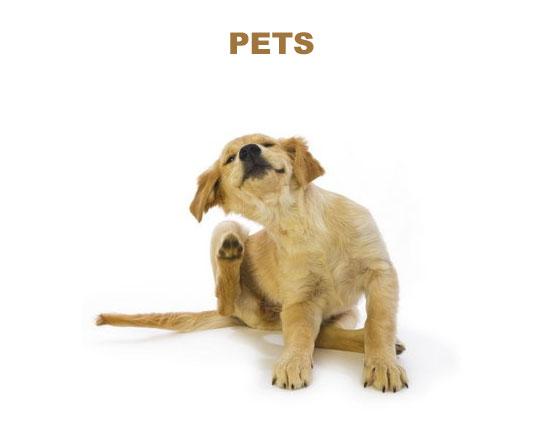 Flea on pets 3